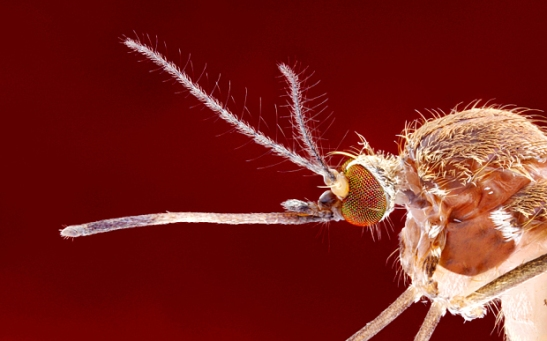 culex_mosquito